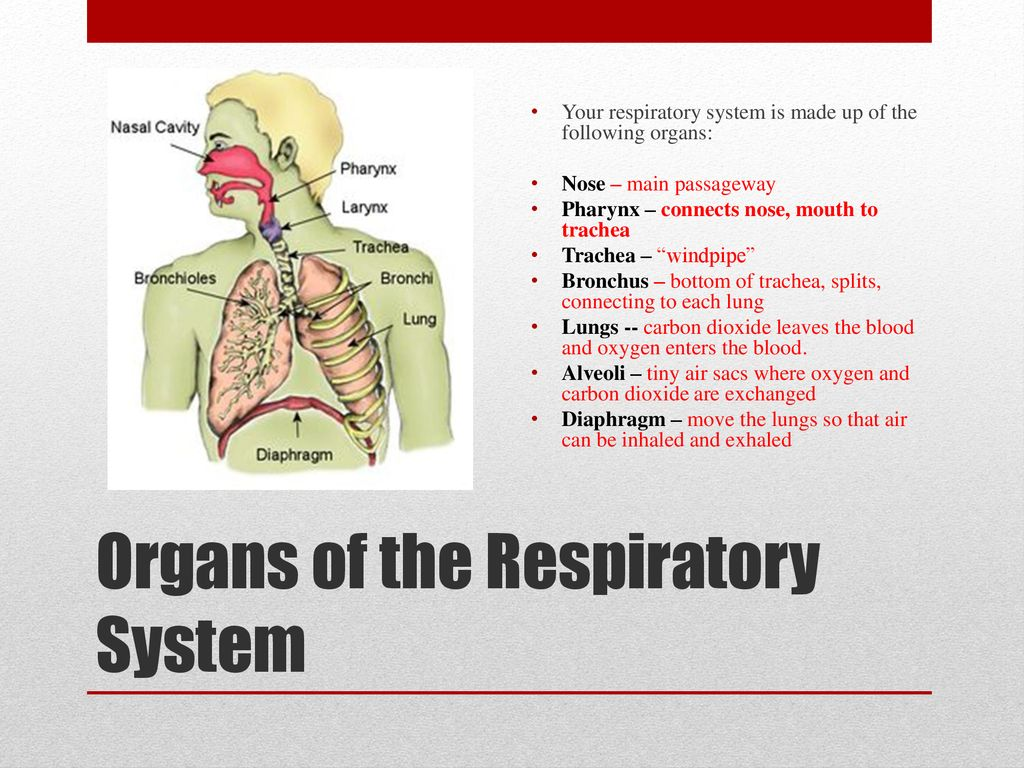 The Cardiovascular Circulatory And Respiratory Systems Ppt Download Below Is A Diagram Of Inhalation Exhalation With Anatomical 25 Organs