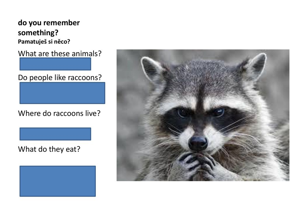 My favorite animals are raccoons  - ppt download