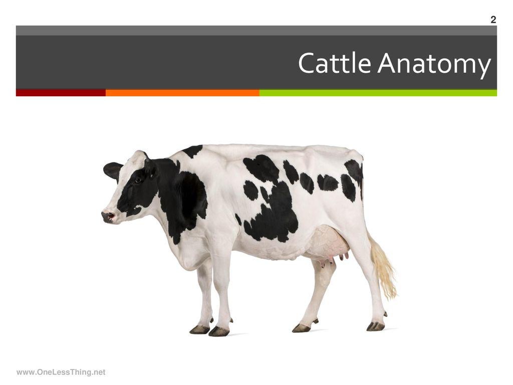Livestock Anatomy Basic Animal Industry Ppt Download