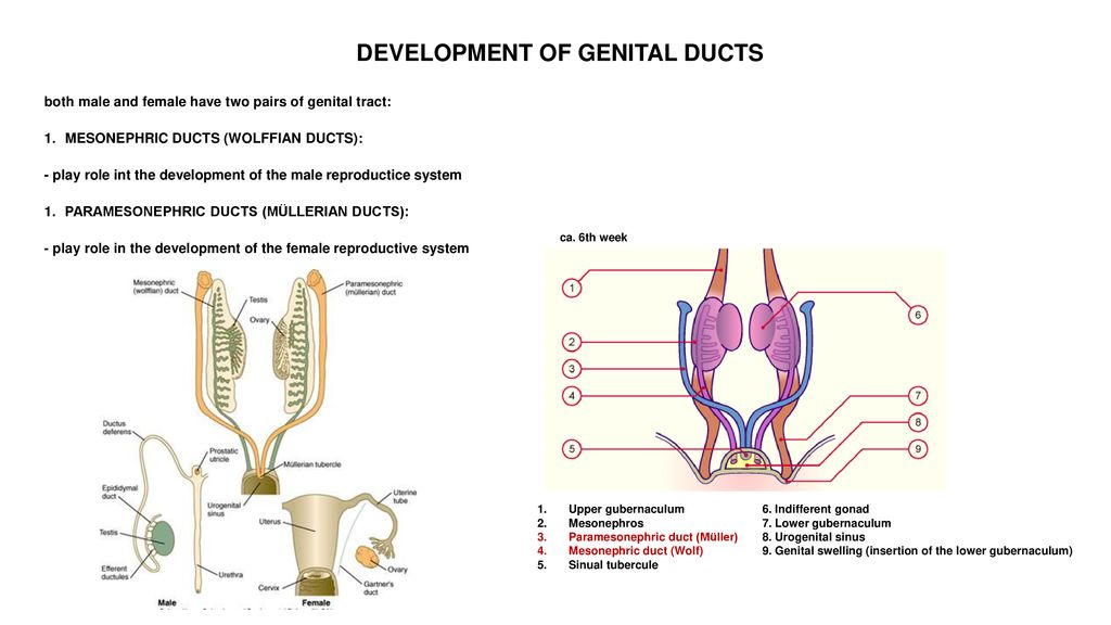 Andrea Heinzlmann Embryology Course 19th April ppt download