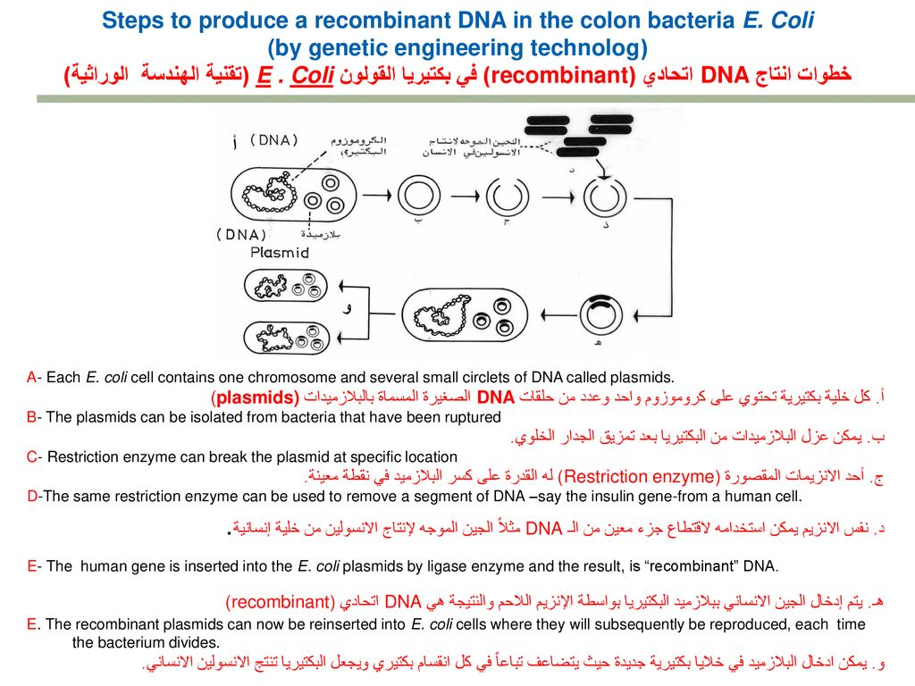 660f172d0 Steps to produce a recombinant DNA in the colon bacteria E. Coli