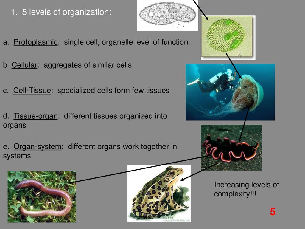 protoplasmic level of organization