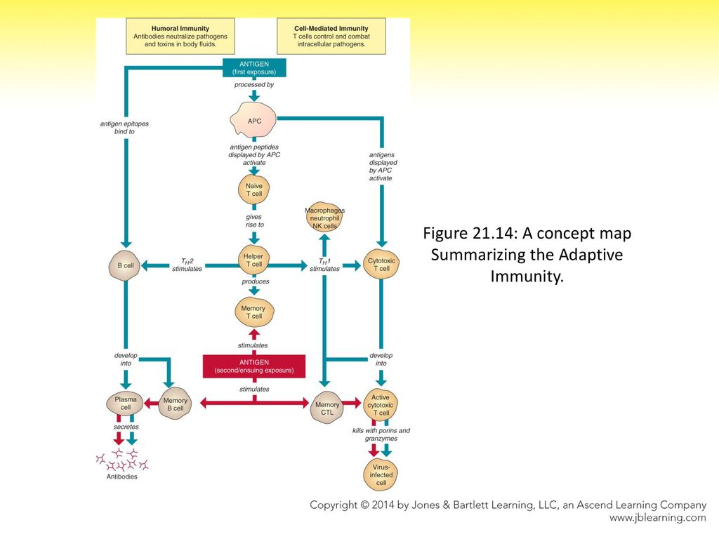 Adaptive Immunity Concept Map.Resistance And The Immune System Adaptive Immunity Ppt Download