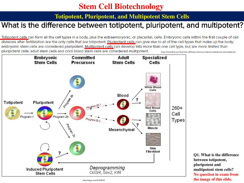 what is the difference between totipotent and pluripotent stem cells