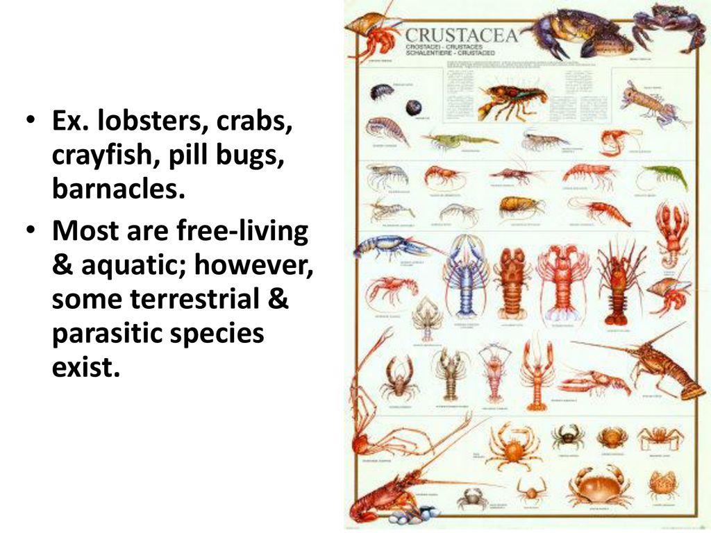 Subphylum Crustacea  - ppt download
