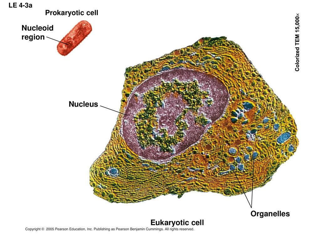 Chapter 4 A Tour Of The Cell Ppt Download Fimbriae Prokaryotic Edition Nucleoid Region Nucleus Organelles Eukaryotic