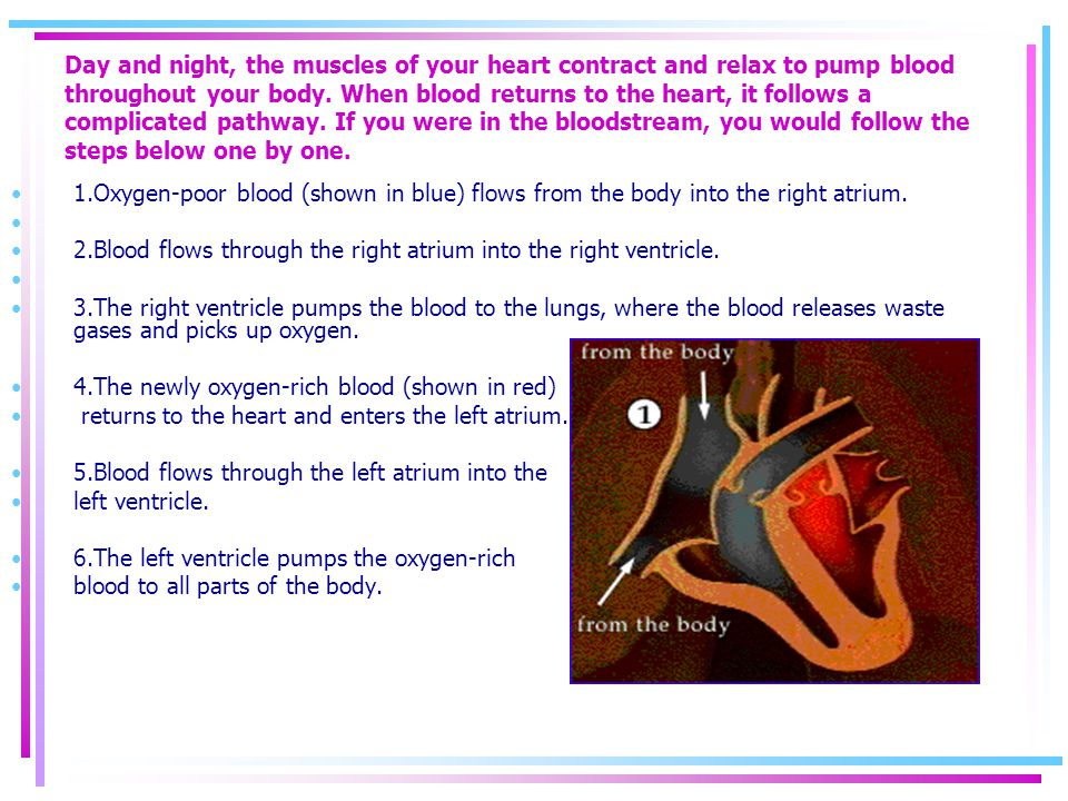 Day and night, the muscles of your heart contract and relax to pump blood throughout your body. When blood returns to the heart, it follows a complicated pathway. If you were in the bloodstream, you would follow the steps below one by one.