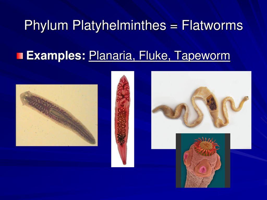 phylum platyhelminthes fonálférgek és annelida