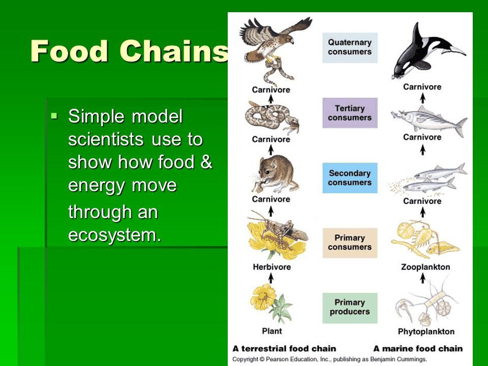 Food Chains Simple model scientists use to show how food & energy move