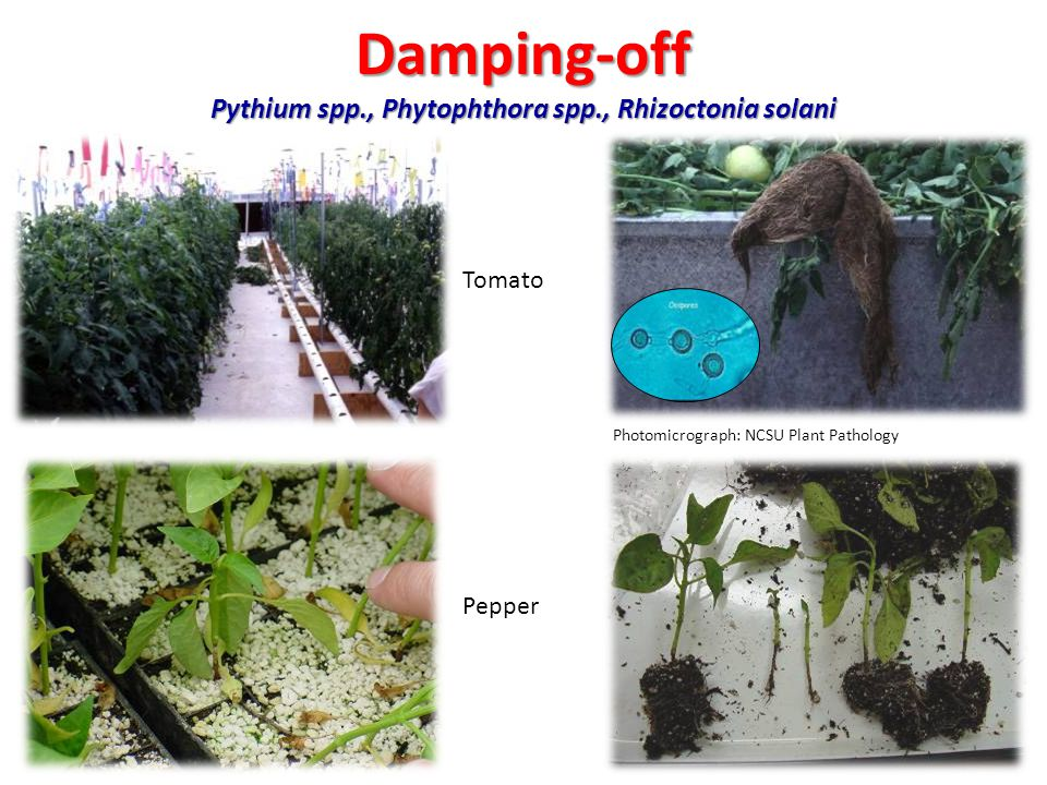 Managing Diseases in the Greenhouse