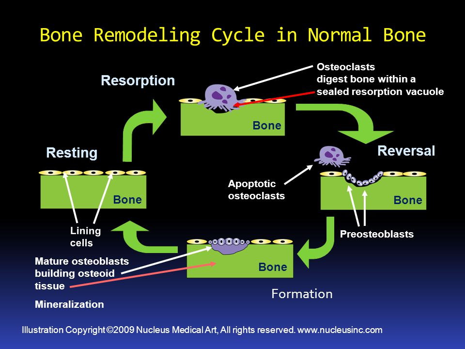 Bone Remodeling Cycle in Normal Bone
