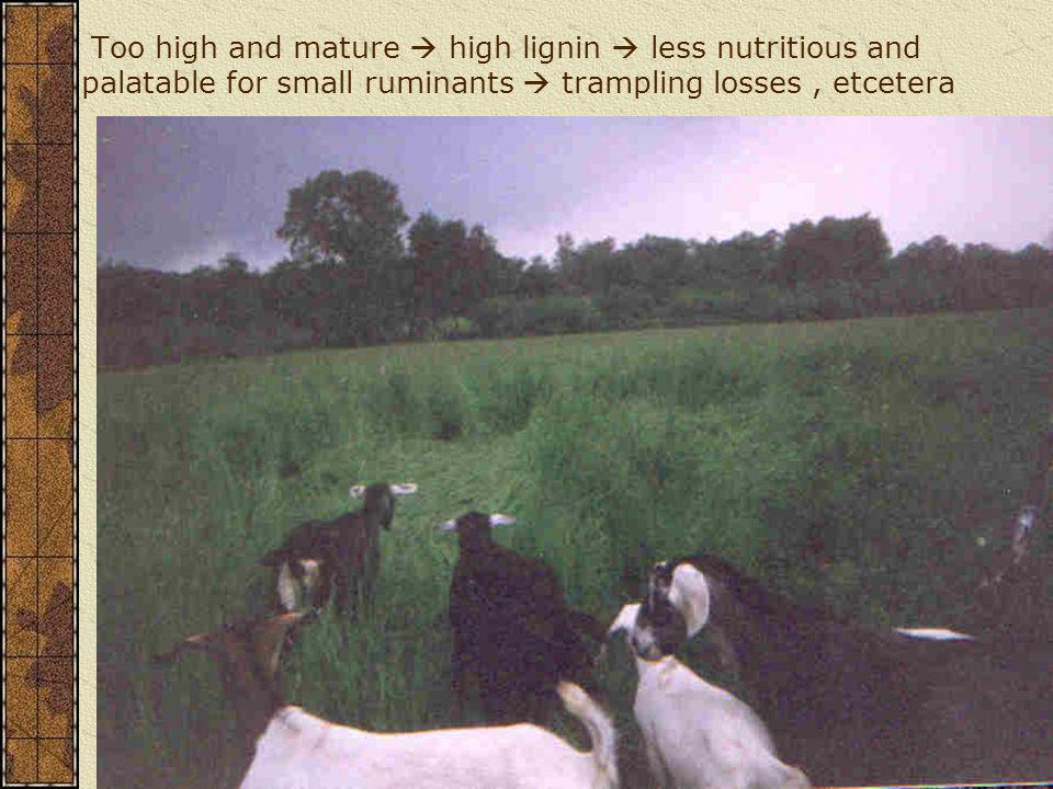 Too high and mature  high lignin  less nutritious and palatable for small ruminants  trampling losses , etcetera