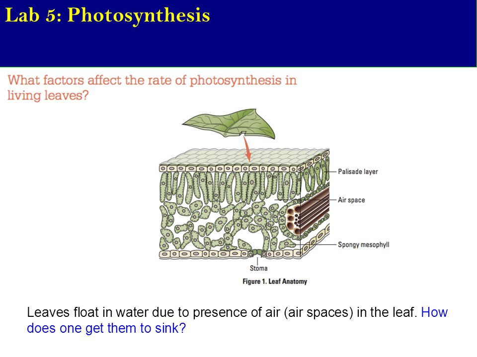Lab 5: Photosynthesis Leaves float in water due to presence of air (air spaces) in the leaf.