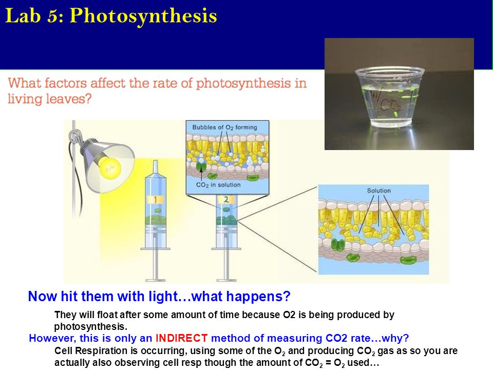 Lab 5: Photosynthesis Now hit them with light…what happens