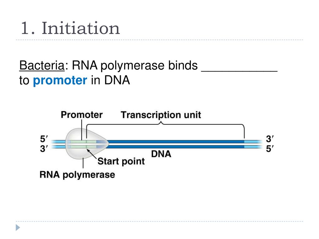 bacterial rna polymerase binds to the ______
