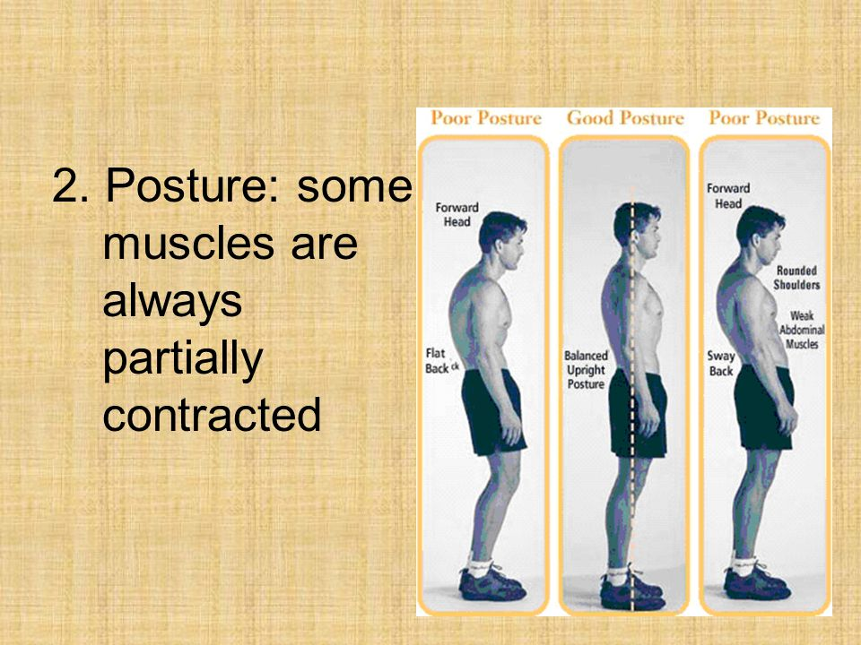 2. Posture: some muscles are always partially contracted