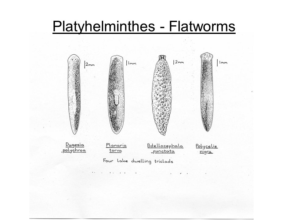 Platyhelminthes - Flatworms