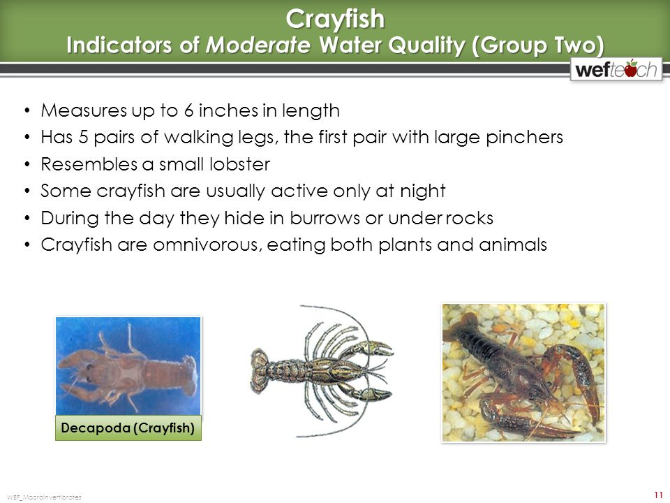 Crayfish Indicators of Moderate Water Quality (Group Two)