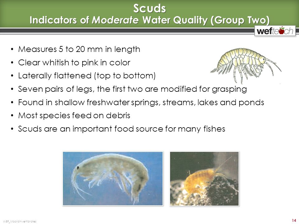 Scuds Indicators of Moderate Water Quality (Group Two)