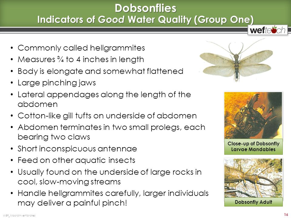 Dobsonflies Indicators of Good Water Quality (Group One)