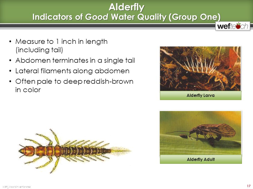 Alderfly Indicators of Good Water Quality (Group One)