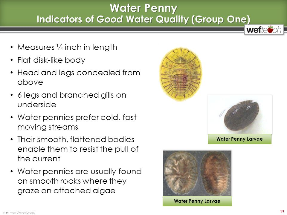 Water Penny Indicators of Good Water Quality (Group One)