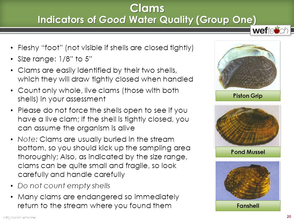 Clams Indicators of Good Water Quality (Group One)
