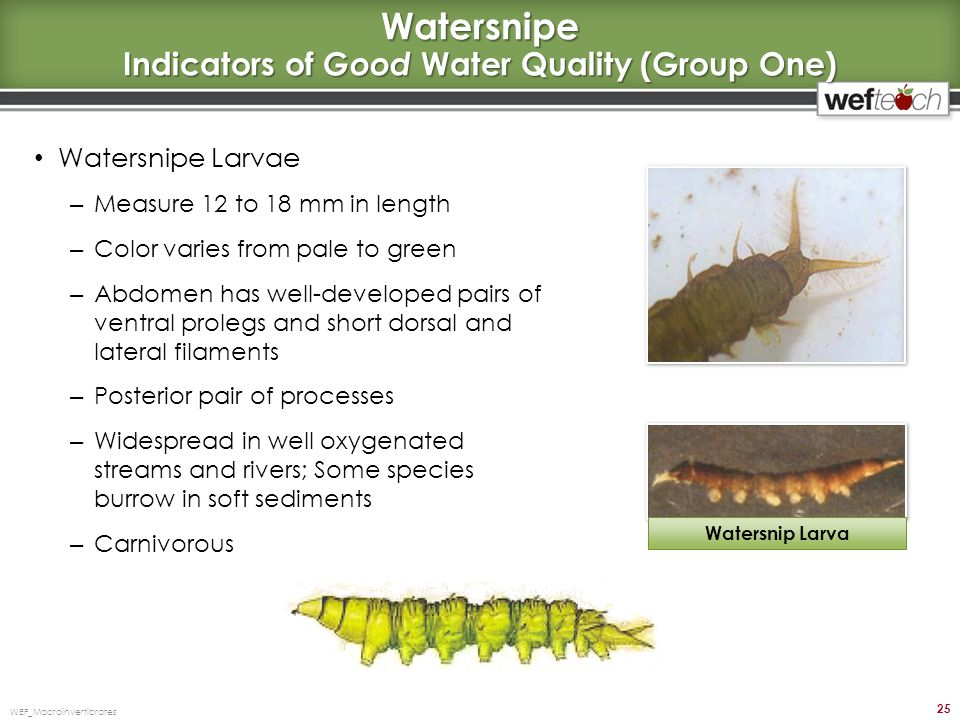 Watersnipe Indicators of Good Water Quality (Group One)
