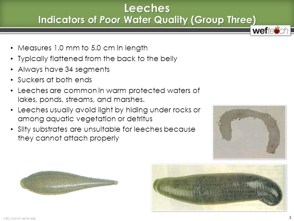 Leeches Indicators of Poor Water Quality (Group Three)