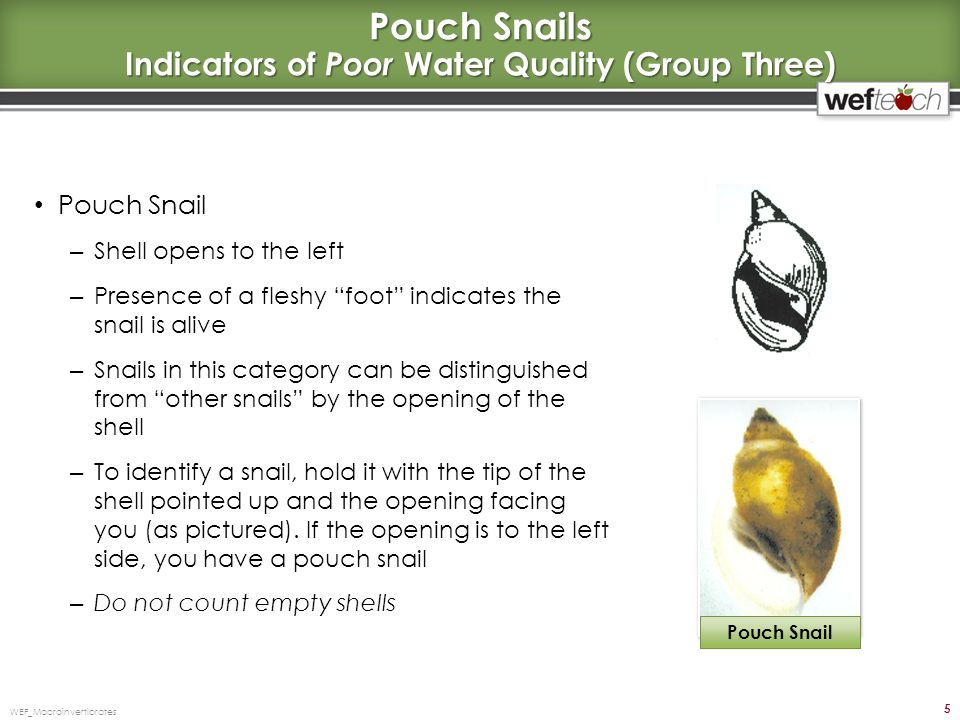Pouch Snails Indicators of Poor Water Quality (Group Three)