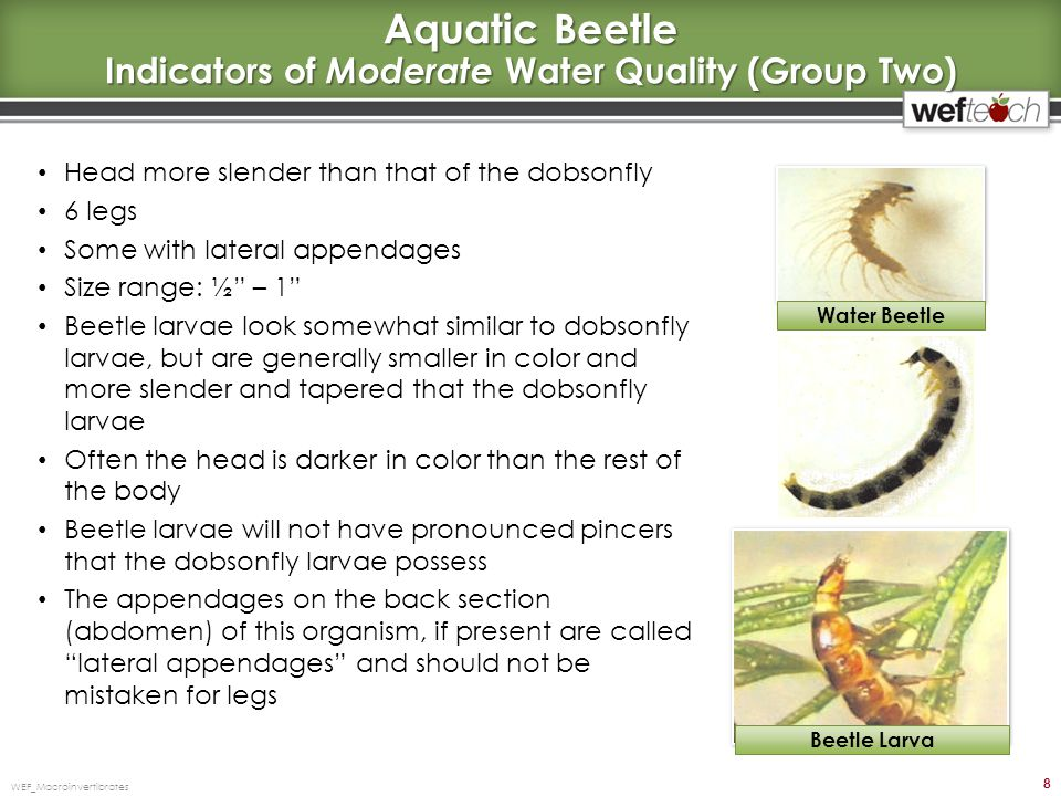 Aquatic Beetle Indicators of Moderate Water Quality (Group Two)