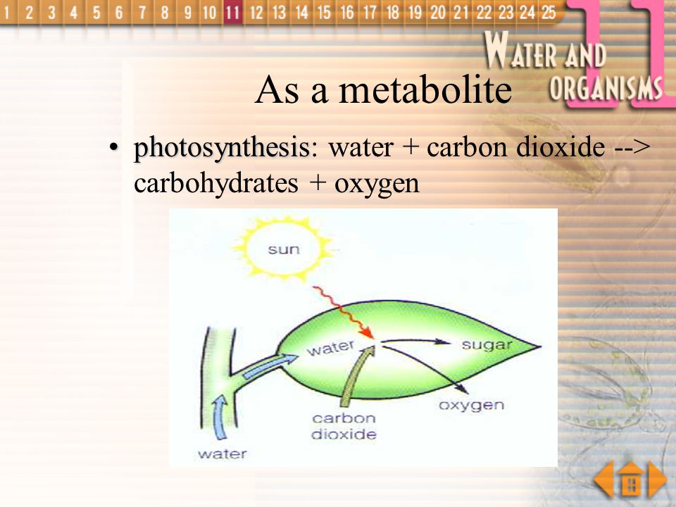As a metabolite photosynthesis: water + carbon dioxide --> carbohydrates + oxygen