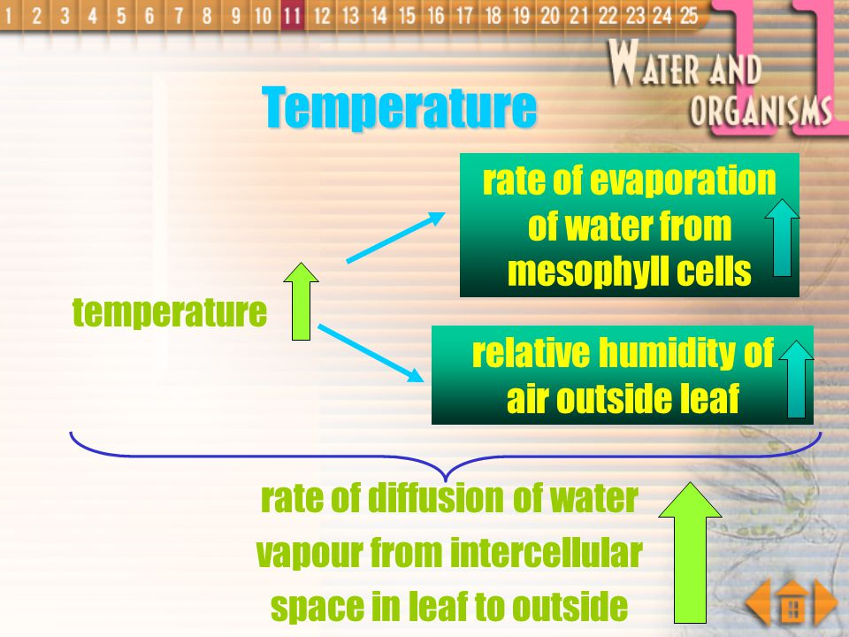 Temperature rate of evaporation of water from mesophyll cells