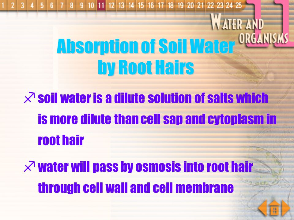 Absorption of Soil Water by Root Hairs
