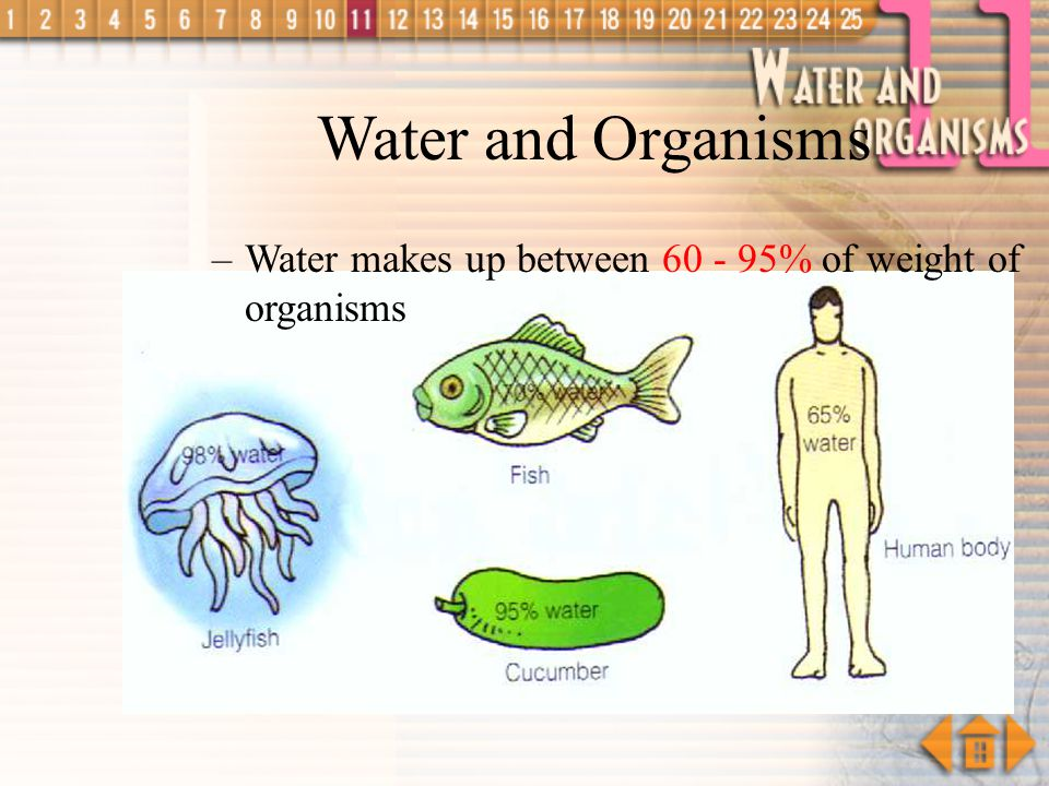 Water and Organisms Water makes up between 60 - 95% of weight of organisms