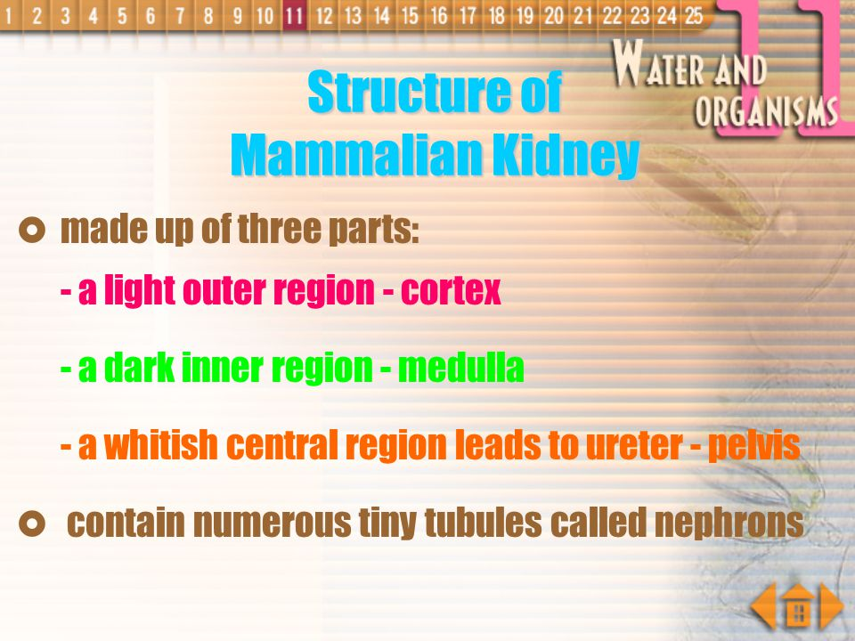 Structure of Mammalian Kidney
