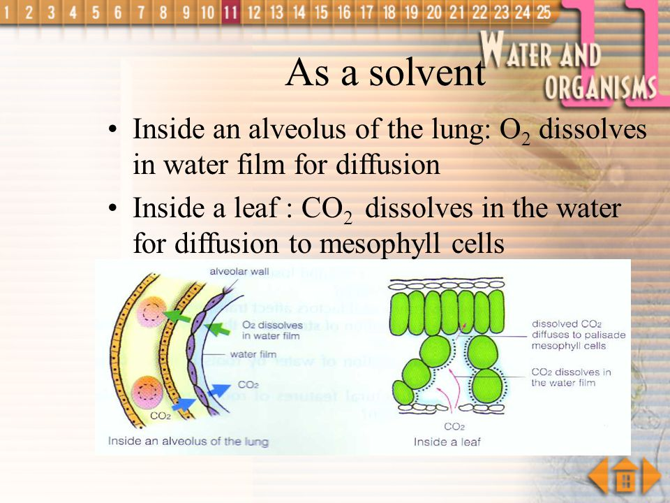 As a solvent Inside an alveolus of the lung: O2 dissolves in water film for diffusion.
