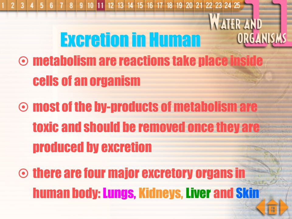 Excretion in Human metabolism are reactions take place inside cells of an organism.