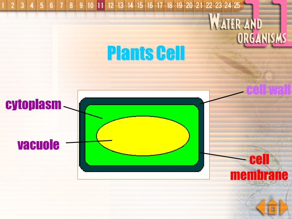 Plants Cell cell wall cytoplasm vacuole cell membrane