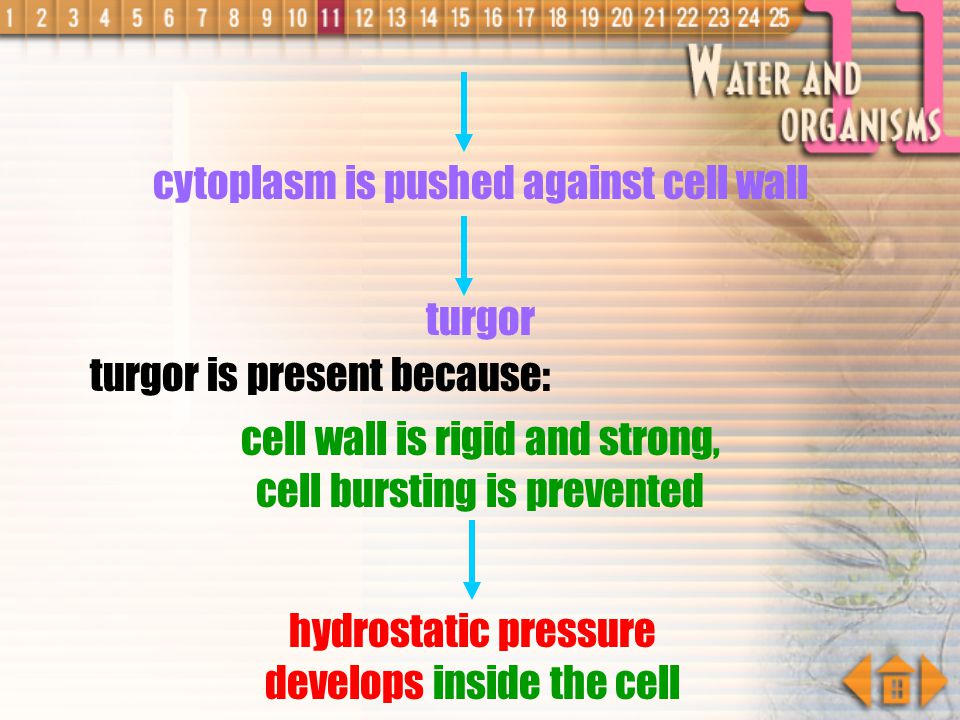 cytoplasm is pushed against cell wall