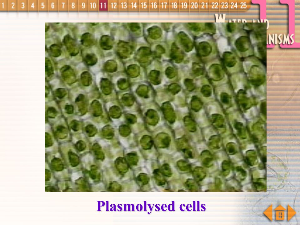 Plasmolysed cells