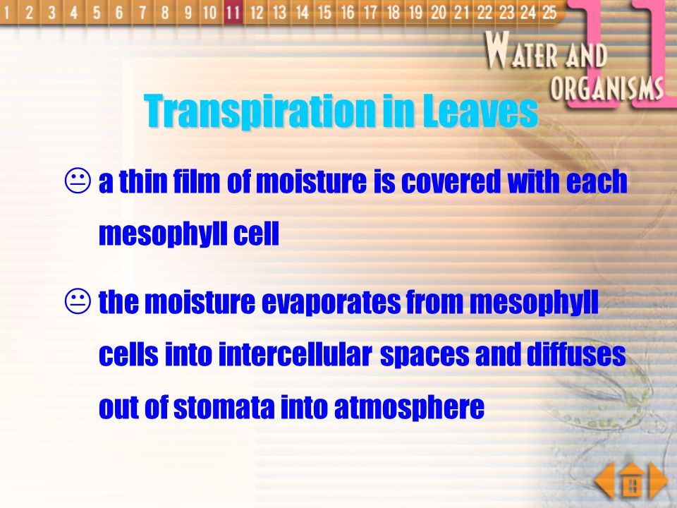 Transpiration in Leaves