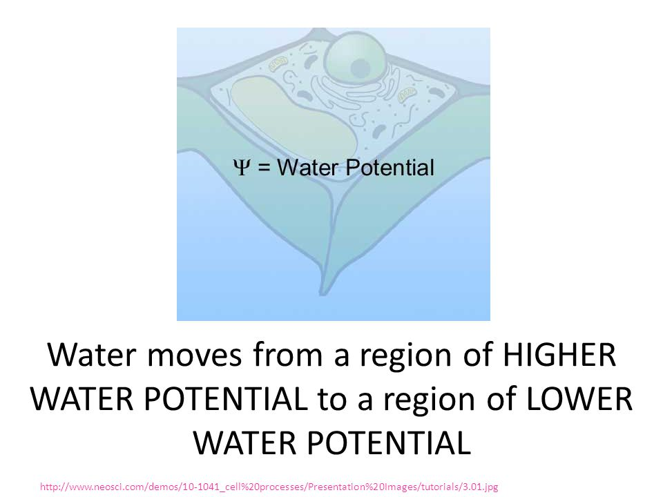 Water moves from a region of HIGHER WATER POTENTIAL to a region of LOWER WATER POTENTIAL