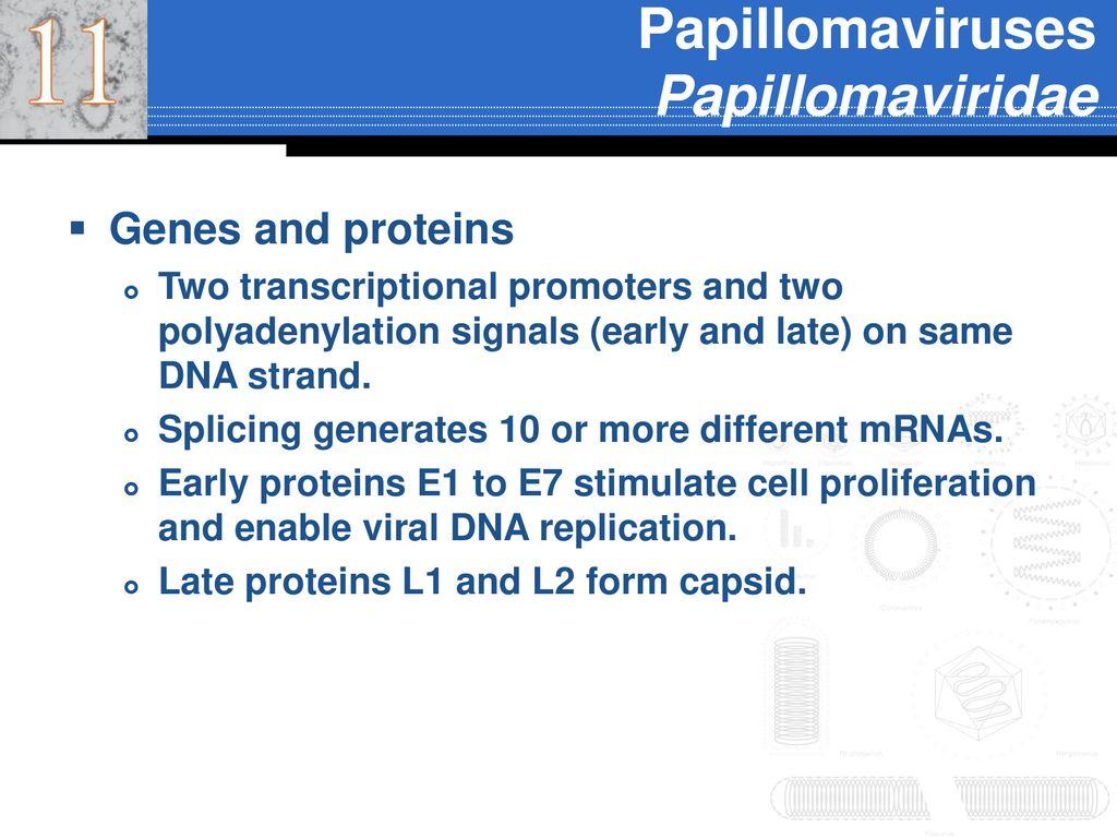 papillomaviridae ppt