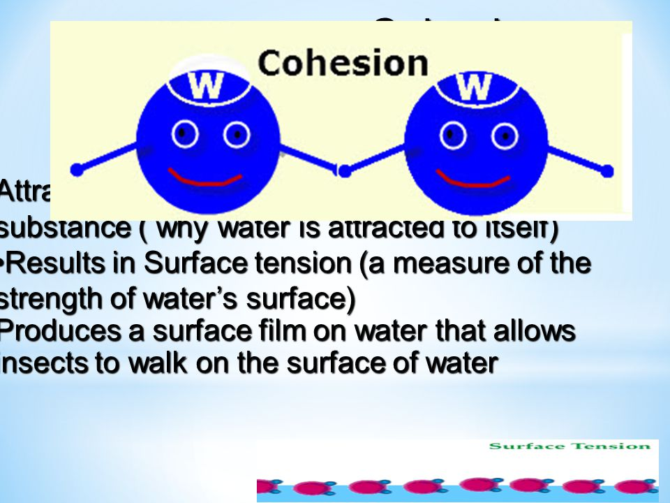 Cohesion (water is sticky)