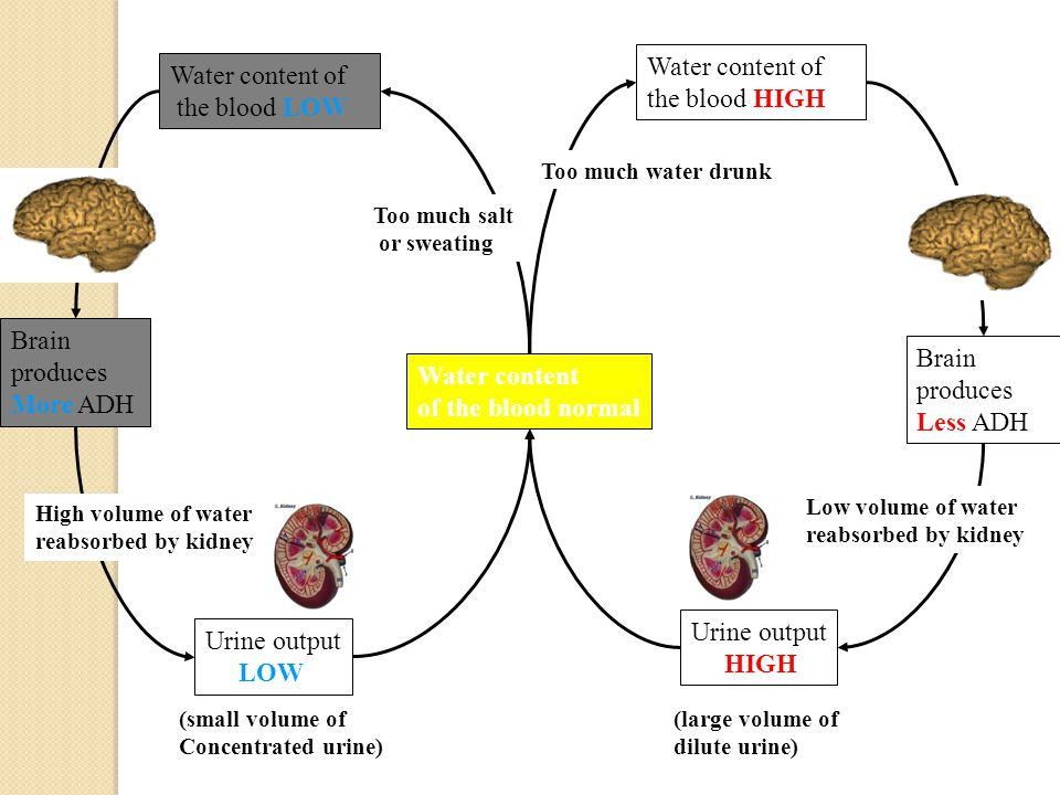Water content of the blood HIGH Water content of the blood LOW