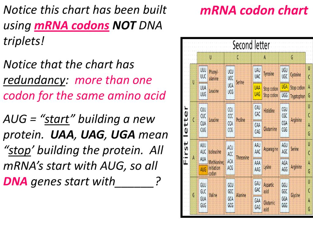 If The Dna Sequence Is 5 Atggcca 3 Taccggt What Mrna Ppt Download