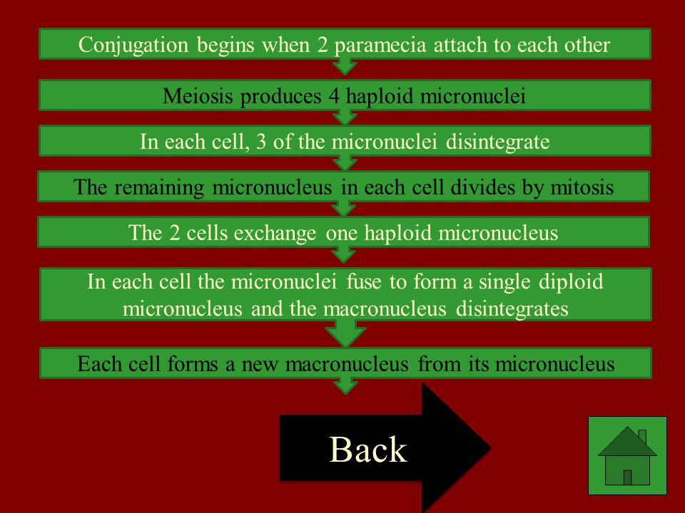 Back Conjugation begins when 2 paramecia attach to each other