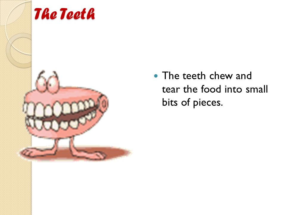The Teeth The teeth chew and tear the food into small bits of pieces.