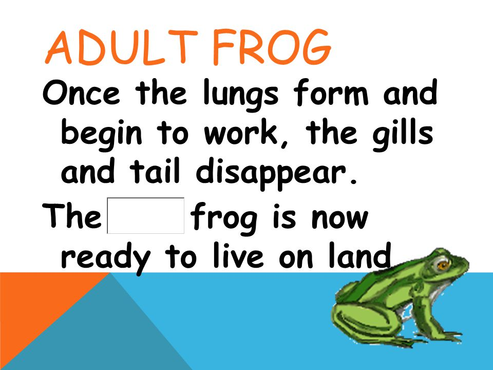 Adult Frog Once the lungs form and begin to work, the gills and tail disappear.